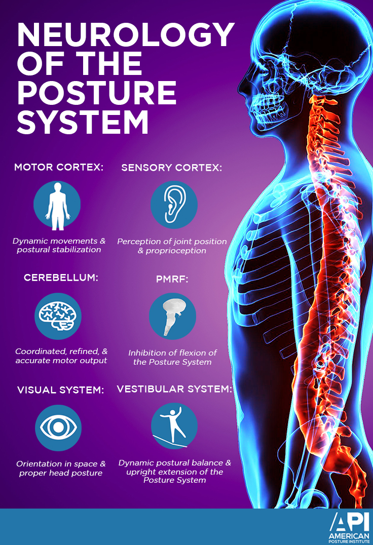 Neurology of the Posture System